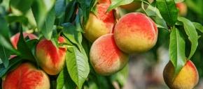 Parker County Peach  ...